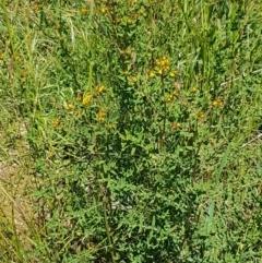 Hypericum perforatum at Crace Grasslands - 3 Nov 2020