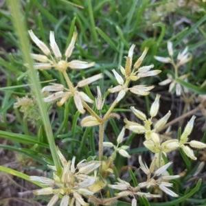 Cerastium glomeratum at Crace Grasslands - 3 Nov 2020