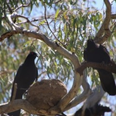 Corcorax melanorhamphos (White-winged Chough) at Deakin, ACT - 3 Nov 2020 by LisaH