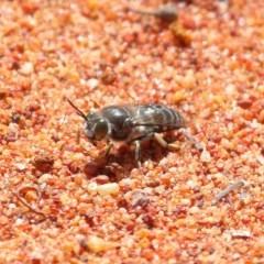 Bembix sp. (genus) (Unidentified Bembix sand wasp) at ANBG - 2 Nov 2020 by TimL