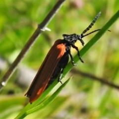 Porrostoma rhipidium (Long-nosed Lycid (Net-winged) beetle) at Jerrabomberra, ACT - 3 Nov 2020 by JohnBundock