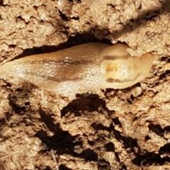 Lehmannia valentiana (Three-band gardenslug, Greenhouse slug) at Dunlop Grasslands - 3 Nov 2020 by tpreston