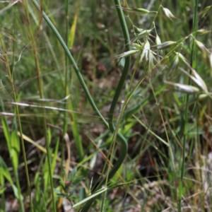 Hypochaeris radicata at Dryandra St Woodland - 3 Nov 2020