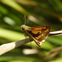 Ocybadistes walkeri (Greenish Grass-dart) at Kambah, ACT - 2 Nov 2020 by MatthewFrawley