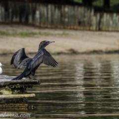 Phalacrocorax sulcirostris (Little Black Cormorant) at Lake Burley Griffin West - 30 Oct 2020 by BIrdsinCanberra