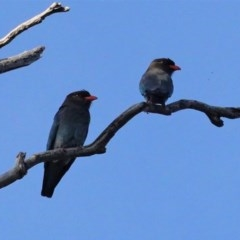 Eurystomus orientalis (Dollarbird) at Red Hill Nature Reserve - 3 Nov 2020 by JackyF