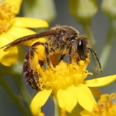 Lasioglossum (Parasphecodes) sp. (genus & subgenus) (Halictid bee) at ANBG - 2 Nov 2020 by TimL