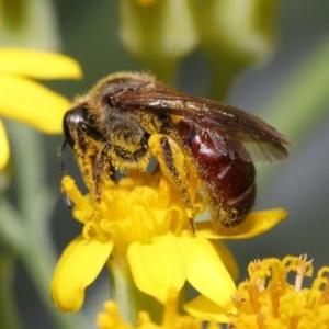 Lasioglossum (Parasphecodes) sp. (genus & subgenus) at ANBG - 3 Nov 2020