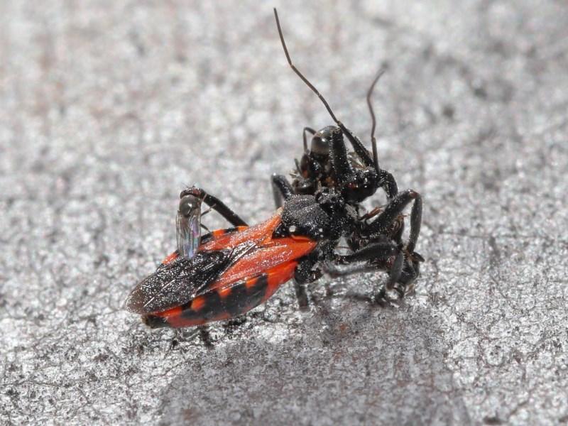 Milichiidae (family) at ANBG - 3 Nov 2020