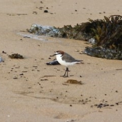 Charadrius ruficapillus (Red-capped Plover) at Bournda National Park - 28 Oct 2020 by RossMannell