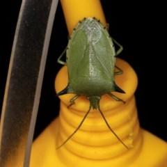 Biprorulus bibax (Spined Citrus Bug) at Melba, ACT - 3 Nov 2020 by kasiaaus