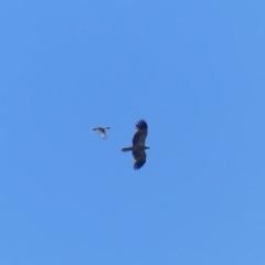 Philemon corniculatus (Noisy Friarbird) at Bega, NSW - 2 Nov 2020 by MatthewHiggins