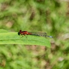 Xanthagrion erythroneurum (Red and Blue Damsel) at Bournda Environment Education Centre - 2 Nov 2020 by RossMannell