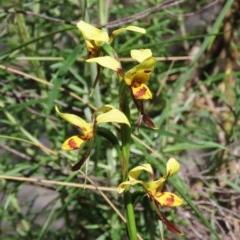 Diuris sulphurea (Tiger orchid) at Theodore, ACT - 3 Nov 2020 by Owen