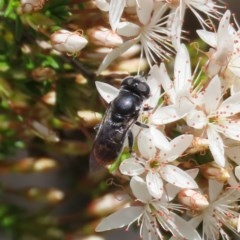 Psilota sp. (genus) (Hover fly) at Tuggeranong Hill - 2 Nov 2020 by Owen