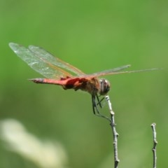 Tramea loewii (Common Glider) at Jerrabomberra Wetlands - 4 Nov 2020 by Christine