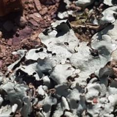 Lichen - foliose (TBC) at Crace Grasslands - 4 Nov 2020 by tpreston