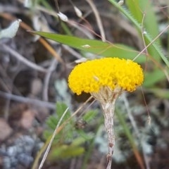 Leptorhynchos squamatus (Scaly Buttons) at Crace Grasslands - 4 Nov 2020 by tpreston