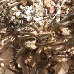 Tasmanicosa sp. (genus) (Unidentified Tasmanicosa wolf spider) at Crace Grasslands - 4 Nov 2020 by tpreston
