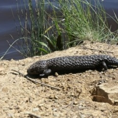 Tiliqua rugosa (Shingleback) at Yerrabi Pond - 4 Nov 2020 by TrishGungahlin