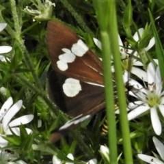 Nyctemera amicus (Senecio or Magpie moth) at Namadgi National Park - 4 Nov 2020 by JohnBundock