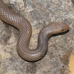 Pseudonaja textilis (Eastern Brown Snake) at ANBG - 4 Nov 2020 by Tim L