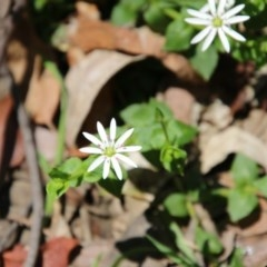 Stellaria flaccida (Forest Starwort) at Budawang, NSW - 4 Nov 2020 by LisaH