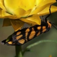 Asura lydia (Lydia Lichen Moth) at Florey, ACT - 4 Nov 2020 by Helend