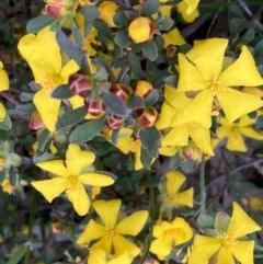 Hibbertia obtusifolia (Grey Guinea-flower) at Burra, NSW - 3 Nov 2020 by Safarigirl