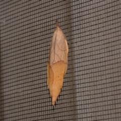 Pararguda nasuta (Wattle Snout Moth) at Florey, ACT - 2 Nov 2020 by Kurt