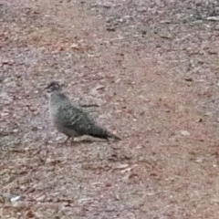 Phaps chalcoptera (Common Bronzewing) at Dryandra St Woodland - 29 Oct 2020 by ConBoekel