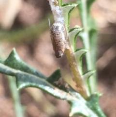Fulgoroidea sp. (superfamily) (Unidentified fulgoroid planthopper) at Aranda, ACT - 28 Oct 2020 by Jubeyjubes