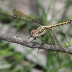 Orthetrum caledonicum (Blue Skimmer) at ANBG - 3 Nov 2020 by TimL