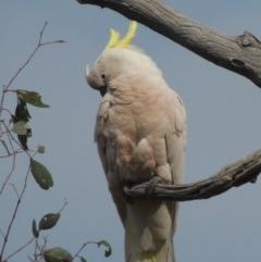 Cacatua galerita (Sulphur-crested Cockatoo) at Gungaderra Grasslands - 5 Oct 2020 by michaelb