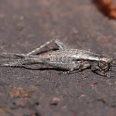 Eurepa marginipennis at ANBG - 4 Nov 2020