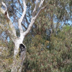 Eucalyptus globulus subsp. bicostata at Dryandra St Woodland - 1 Nov 2020