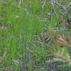 Juncus sp. at Dryandra St Woodland - 29 Oct 2020