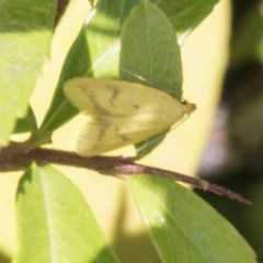 Aeolothapsa malacella (A Concealer moth) at Hawker, ACT - 3 Nov 2020 by AlisonMilton