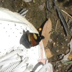 Vanessa itea (Yellow Admiral) at Bruce, ACT - 28 Oct 2020 by AlisonMilton