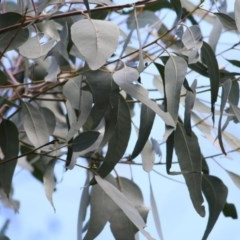 Eucalyptus bridgesiana (Apple Box) at Wodonga - 5 Nov 2020 by Kyliegw