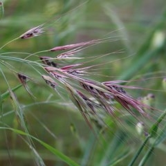 Bromus madritensis (Madrid Brome) at Felltimber Creek NCR - 5 Nov 2020 by Kyliegw
