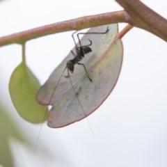 Tettigoniidae sp. (family) (Unidentified katydid) at Hawker, ACT - 4 Nov 2020 by AlisonMilton
