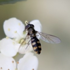 Melangyna viridiceps (Hover fly) at Hawker, ACT - 4 Nov 2020 by AlisonMilton