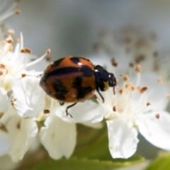 Coccinella transversalis (Transverse Ladybird) at Hawker, ACT - 4 Nov 2020 by AlisonMilton