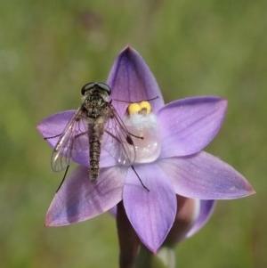 Chrysopilus sp. (genus) at Mount Painter - 4 Nov 2020