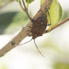 Poecilometis strigatus (Gum Tree Shield Bug) at Hawker, ACT - 4 Nov 2020 by AlisonMilton