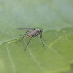 Dolichopodidae sp. (family) (Unidentified Long-legged fly) at Hawker, ACT - 4 Nov 2020 by AlisonMilton