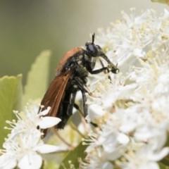 Pelecorhynchus fulvus (Orange cap-nosed fly) at Hawker, ACT - 4 Nov 2020 by AlisonMilton
