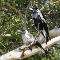 Gymnorhina tibicen (Australian Magpie) at Majura, ACT - 2 Nov 2020 by Christine