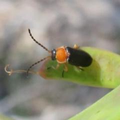 Heteromastix sp. (genus) (Soldier beetle) at ANBG - 3 Nov 2020 by Christine